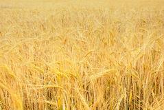 Wheat, Grain field Stock Images