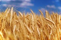 Wheat grain field Stock Photo