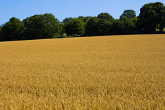 Wheat Grain in a field Stock Image