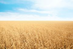 Wheat grain field on sunny day. Cereal farming royalty free stock photo