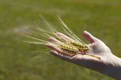 Wheat grain in hand. Close view of wheat grain in the hand before harvest Stock Photo