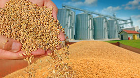 Wheat grain in a hand. After good harvest of successful farmer, in a background agricultural silo Stock Photography