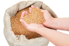Wheat grain in hands. On white royalty free stock image