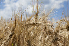 Wheat grain stalk against blue sky close up Royalty Free Stock Image