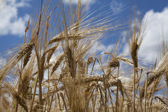 Wheat grain stalk against blue sky close up Stock Photo