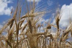 Wheat grain stalk against blue sky close up Stock Photo
