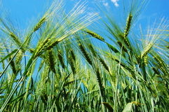 Wheat grain under blue sky Royalty Free Stock Photos