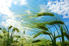 Wheat grain under blue sky Stock Photography