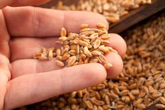 Wheat grains Royalty Free Stock Photos