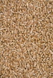Wheat grains. Stock Photography