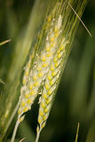 Wheat Grains Royalty Free Stock Photography