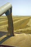 Wheat grains Stock Image