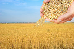 Wheat grains Stock Images