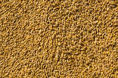 Wheat grains as agricultural background. Royalty Free Stock Photos