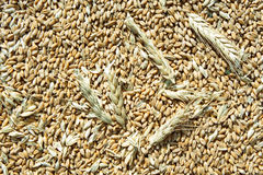 Wheat grains background. A background of dry grains and ears of wheat royalty free stock photos