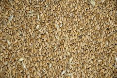 Wheat grains in bulk Stock Photo