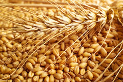 Wheat grains and ears Stock Images