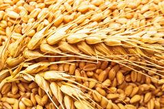 Wheat grains and ears Royalty Free Stock Image