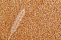 Wheat grains and ears as agricultural background. For harvesting season Royalty Free Stock Photography