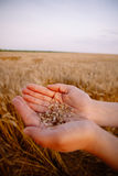 Wheat Grains in Female Hands Stock Image