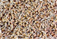 Wheat grains germinated Stock Image