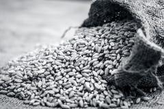 Wheat grains from a gunny bag. Raw Triticum,Wheat grains coming out of a gunny bag Stock Image