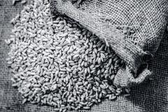 Wheat grains from a gunny bag. Raw Triticum,Wheat grains coming out of a gunny bag Stock Images