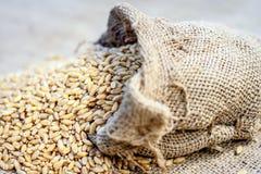 Wheat grains from a gunny bag. Raw Triticum,Wheat grains coming out of a gunny bag Stock Photography