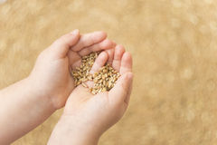 Wheat grains in hands Stock Photos