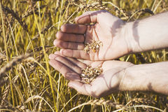 Wheat grains in hands on field background Stock Photo