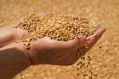Wheat grains in hands Stock Images