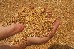 Wheat grains in hands Royalty Free Stock Image