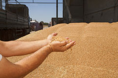 Wheat grains in hands Stock Image