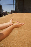 Wheat grains in hands Royalty Free Stock Images