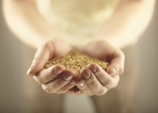 Wheat grains in the male hands. royalty free stock photography