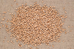 Wheat grains in a sacking. Background Royalty Free Stock Images
