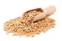 Wheat grains in wooden scoop Stock Image