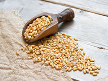 Wheat grains in wooden spoon Stock Images