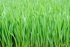 Wheat grass. Close up of wheat grass background Royalty Free Stock Photography