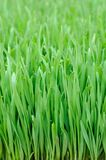 Wheat grass. Close up of wheat grass background Stock Photography