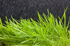 Wheat grass. Rain and wheat grass over black Stock Photo