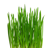 Wheat grass. Fresh green wheat grass isolated on white background Stock Image