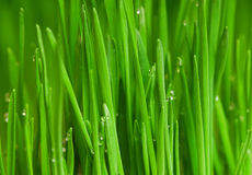 Wheat grass. Fresh green wheat grass with drops dew Stock Image