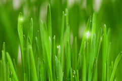 Wheat grass. Fresh green wheat grass with drops dew Stock Photos