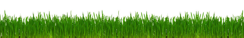 Wheat grass. Fresh green wheat grass isolated on white background Royalty Free Stock Photography
