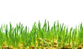 Wheat Grass Stock Image