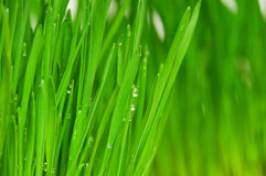 Wheat grass Royalty Free Stock Images