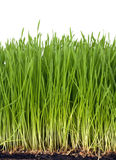 Wheat grass. Fresh wheat grass growing with roots Royalty Free Stock Photography