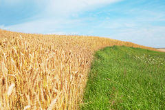Wheat and grass. Royalty Free Stock Photography