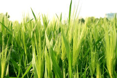 Wheat Grass. Bunch of green abundant wheat grass in daylight Stock Images